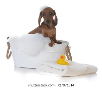 adorable male dachshund puppy getting a bath on white background
