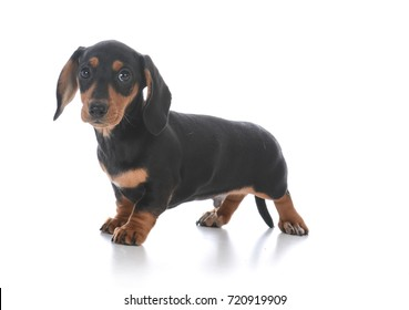 adorable male dachshund puppy on white background
