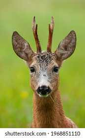 Adorable male of roe deer eating grass on green field in close-up