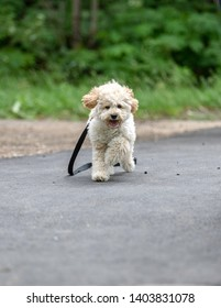 Adorable Maltese and Poodle mix Puppy (or Maltipoo dog), playing happily in the park