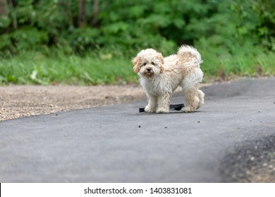 Adorable Maltese and Poodle mix Puppy (or Maltipoo dog), walking in the park