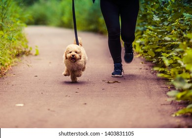 Adorable Maltese and Poodle mix Puppy (or Maltipoo dog), running happily, in the park