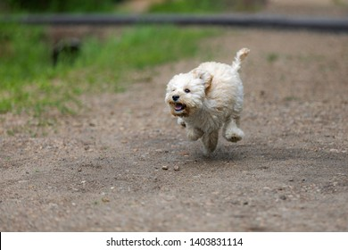 Adorable Maltese and Poodle mix Puppy (or Maltipoo dog), running and jumping happily, in the park