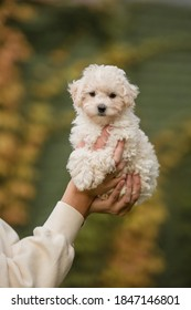 Adorable Maltese and Poodle mix Puppy (or Maltipoo dog), running and jumping happily, in the park. Autumn Fall season