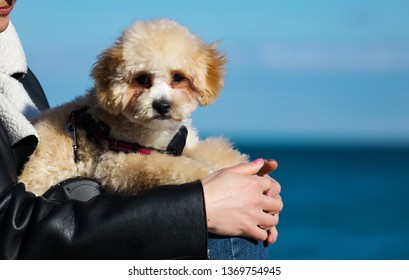 Adorable maltipoo puppy lying on the owner's hands, tired after long walk and playing on the beach. Curly fur waving on the wind. Small black eyes and nose. Blue sky and sea on the background.