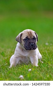 Adorable Mastiff Puppy few weeks old sitting on grass, looking.