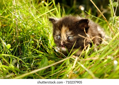 adorable meowing tabby kitten outdoors