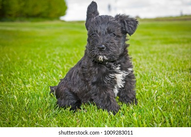 Adorable Mini Schnauzer Dogs and Puppies