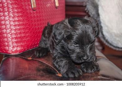 Adorable Mini Schnauzer Puppy