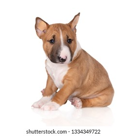 adorable miniature bull terrier puppy sitting on white background