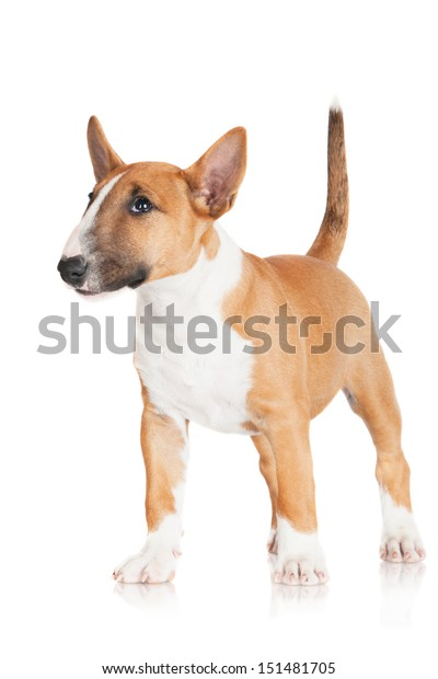 Adorable Miniature English Bull Terrier Puppy Stock Photo