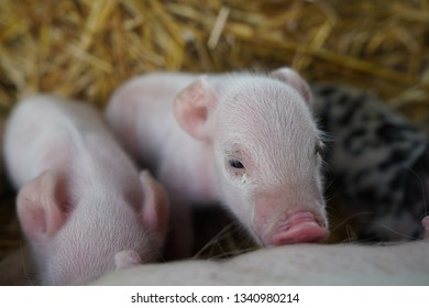 Adorable miniature piglets and their pig parents, being cute and amazing for the world to enjoy!