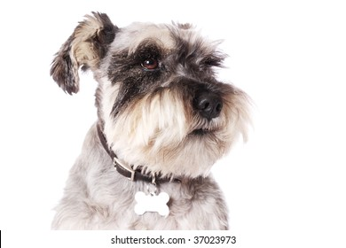 An adorable Miniature Schnauzer on a white background. Copy space.