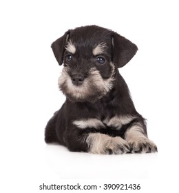 adorable miniature schnauzer puppy