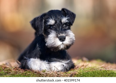 adorable miniature schnauzer puppy lying down outdoors