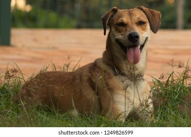 Adorable mutt dog lying on the grass looking at camera. Happy dog. Mixed-breed female dog