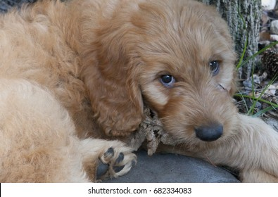 An adorable nine week old Goldendoodle curled up on the ground chews on a brown leaf  and gazes at the camera beyond his big puppy paws