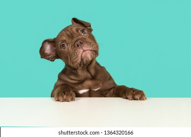 Adorable old english bulldog puppy with paws on a white table looking at the camera on a blue background