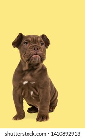 Adorable old english bulldog puppy glancing away sitting isolated on a yellow background
