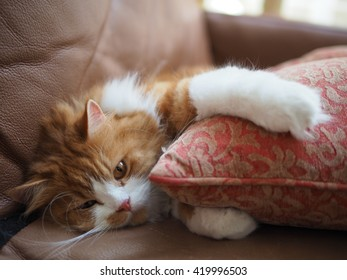 Adorable Orange Traditional Doll Face Persian Cat Laying Down Hugging Pillow
