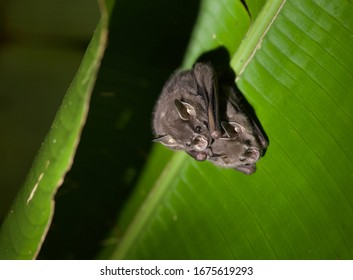 An adorable pair of Leaf-nosed Bats hiding under a tent they made out of a jungle leaf.