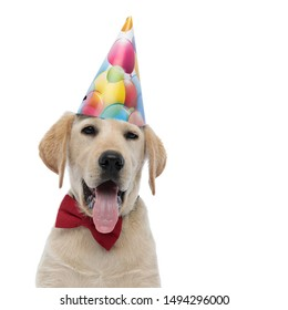 adorable party labrador retriever , wearing birthday hat and red bow tie panting on white background