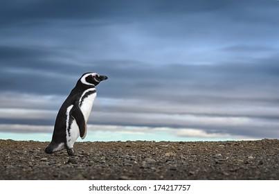 Adorable penguin in Patagonia.