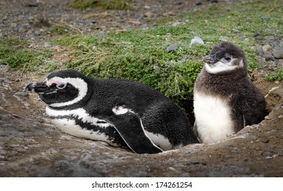 Adorable penguins (adult and baby) at home. High definition image.