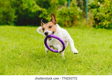 Adorable pet dog playing with toy at green grass lawn at back yard