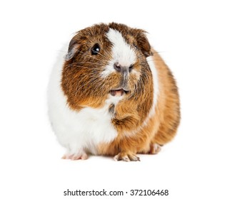 Adorable pet guinea pig on white looking up and to side