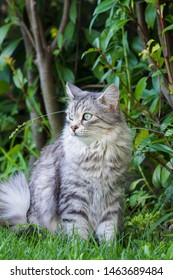 Adorable pet of siberian cat in a garden. Hypoallergenic animal with long hair