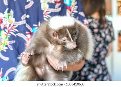 Adorable Pet skunk holding cuddling in hand