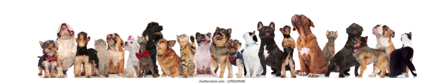 adorable pets with red bowties and colorful clothes look up while standing, sitting and lying on white background