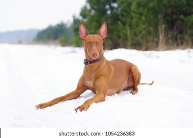 Adorable Pharaoh hound with a leather collar lying down on a snow in winter