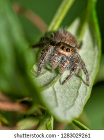 Adorable Phidippus princeps, Sinuous Tufted Jumping spider sitting on a leaf in fall garden, looking at the viewer with curiosity