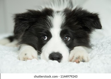 adorable photo of amazing cute black and white border collie puppy in the bed