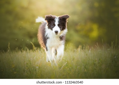adorable photo of amazing cute border collie puppy running in the green garden