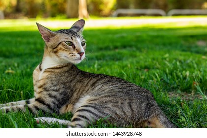 adorable photogenic stripped domestic cat portrait lay on a green grass park outdoor clean nature space for walking with pets and looking side ways