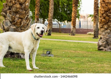 adorable photogenic white Labrador smiling portrait in south park outdoor city square space for walking with domestic pets with green grass meadow and palm trees