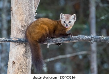 An adorable pine marten, a member of the weasel family.  They have a gorgeous fur coat and they are incredibly fast.  Despite their sweet and adorable face, they are a fierce predator.