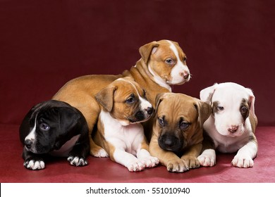Adorable pit bull puppies on the background in the Studio