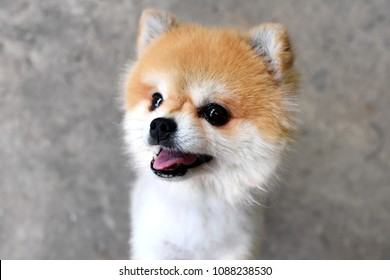 Pomeranian images stock photos vectors shutterstock adorable pomeranian dog stand with two legs and looking at something want to eat on texture altavistaventures Image collections