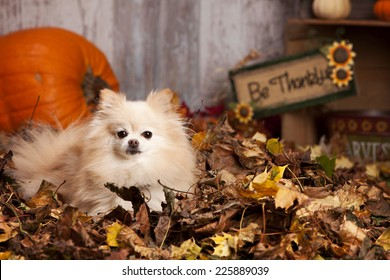 Adorable Pomeranian lying in a pile of leaves with pumpkins and other fall decor in the background.