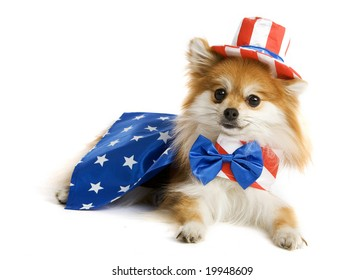 Adorable Pomeranian puppy decked out in an Uncle Sam Suit.  Isolated on white.