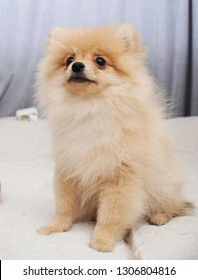 Adorable pomeranian puppy in home