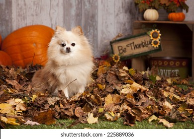 Adorable Pomeranian sitting in a pile of leaves with pumpkins and other fall decor in the background.