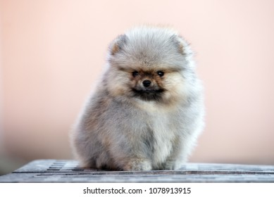 Top Pomeranian Anime Adorable Dog - adorable-pomeranian-spitz-puppy-posing-260nw-1078913915  Collection_746532  .jpg