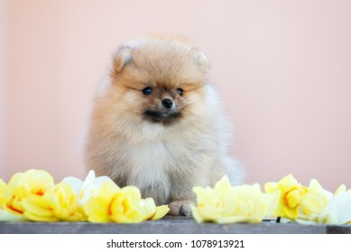 Top Pomeranian Anime Adorable Dog - adorable-pomeranian-spitz-puppy-posing-260nw-1078913921  Collection_746532  .jpg