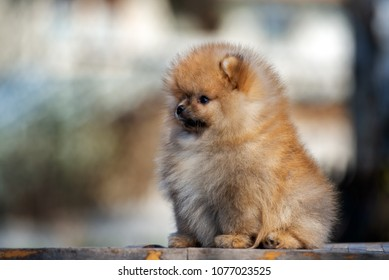 adorable pomeranian spitz puppy sitting outdoors