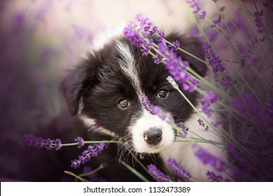 adorable portrait of amazing cute border collie puppy in the violet lavender flowers
